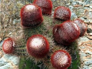 Ram Head Hike Cactus - Salt Pond Bay, St John