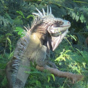 St John Island Iguana