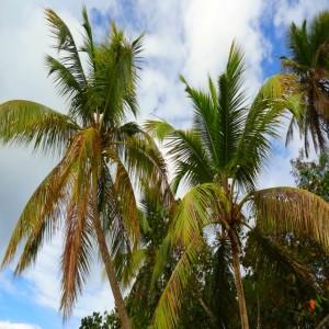 Swaying Palm Trees St John island