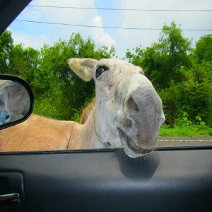 Island Wildlife St John donkey
