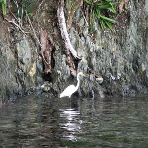 Egret on St John USVI